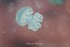 Blubber Jellies - Monterey Aquarium (23) #
