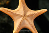 Bat Star - Monterey Aquarium (13) #