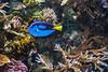 Blue Tang - Monterey Aquarium (6) #