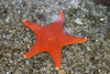 Bat Star - Monterey Aquarium (4) #