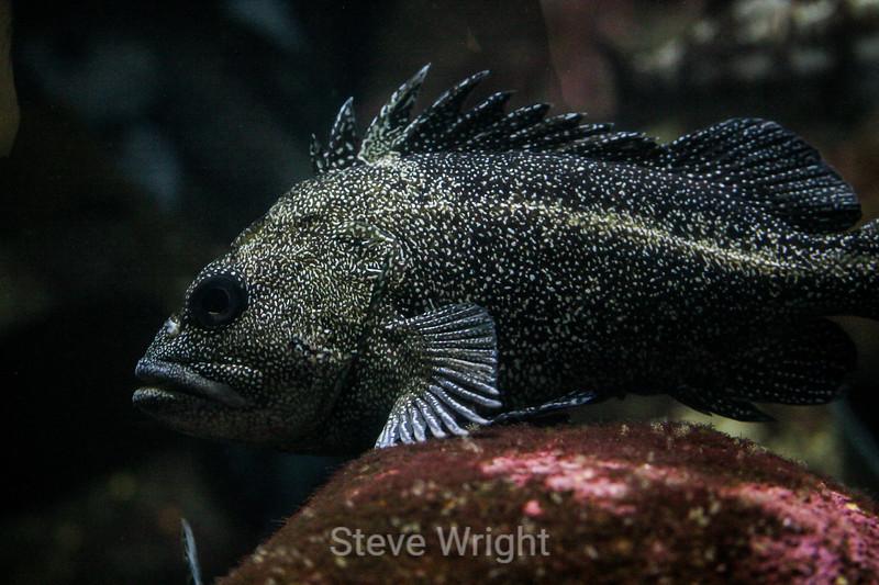 Cabezon fish - Monterey Aquarium (12) #
