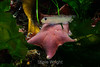 Bat Star - Monterey Aquarium (10) #