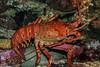 Giant Lobsters - Monterey Bay Aquarium #7265