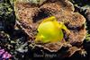 Yellow Tang - Montere Bay Aquarium #7173
