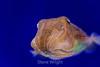 Pharoh Cuttlefish - Monterey Bay Aquarium #7187