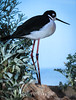 Black-Necked Stilt #7051