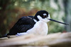 Black-Necked Stilt #7096
