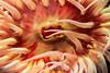 White Spotted Rose Anemone - Monterey Bay Aquarium #7263