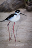Black-Necked Stilt #7113