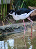 Black-Necked Stilt #7080