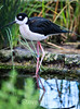 Black-Necked Stilt #7074