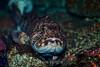 Lingcod - Monterey Bay Aquarium #6900
