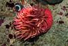 White Spotted Rose Anemone - Monterey Bay Aquarium #7247
