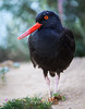 Black Oystercatcher #7040