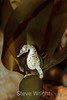 Pot-bellied Seahorse - Monterey bay Aquarium #7387