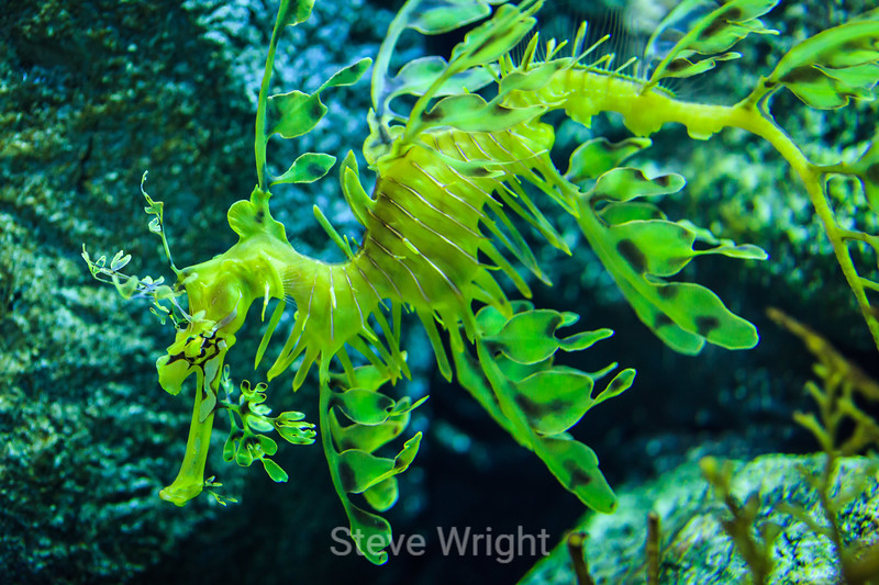 Leafy Sea Dragons - Monterey Bay Aquarium #7407