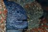 Wolf-eel - Monterey Bay Aquarium #6887
