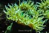 Giant Green Anemone - Monterey Bay Aquarium #7242