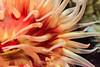White Spotted Rose Anemone - Monterey Bay Aquarium #7259