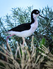 Black-Necked Stilt #7050