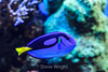 Blue Tang - Monterey Bay Aquarium #7185