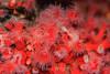 Club-Tipped Anemones - Monterey Bay Aquarium #6907