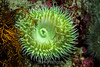 Giant Green Anemone - Monterey Bay Aquarium #7256