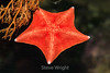 Bat Star - Monterey Bay Aquarium #7298