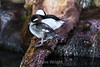 Bufflehead Ducks #7102