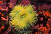 Giant Green Anemone - Monterey Bay Aquarium #7122