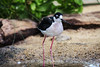 Black-Necked Stilt #7030