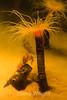 Tube anemone - Monterey Bay Aquarium #6948