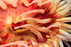 White Spotted Rose Anemone - Monterey Bay Aquarium #7261