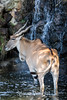 Common Eland - Oakland Zoo #1995
