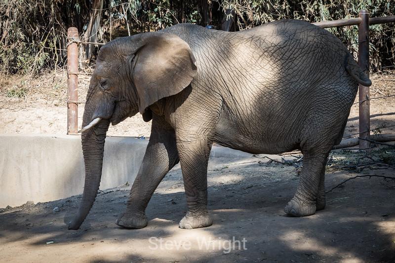 African Elephant - Oakland Zoo #2219