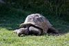 Aldabra Tortoise - Oakland Zoo #2171