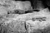 Chuckwallas - Oakland Zoo #2074