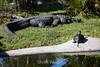 Alligator & Turtle - Oakland Zoo #2166