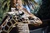 Giraffes - Oakland Zoo #7486
