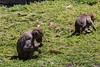 Hamadryas Baboon - Oakland Zoo #7667