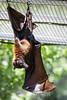 Fruit Bats - Oakland Zoo #7756