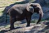 African Elephants - Oakland Zoo #7528