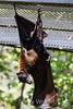Fruit Bats - Oakland Zoo #7736