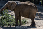 African Elephants - Oakland Zoo #7517