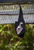 Fruit Bats - Oakland Zoo #7744