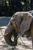 African Elephants - Oakland Zoo #7536