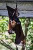 Fruit Bats - Oakland Zoo #7747