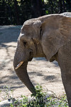 African Elephants - Oakland Zoo #7534