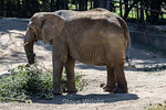 African Elephants - Oakland Zoo #7532