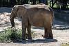 African Elephants - Oakland Zoo #7532